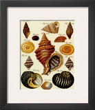 Conchylien Cabinet III Print by W. Martini
