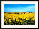 Sunflowers Field, Umbria Prints by Philip Enticknap