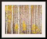 Aspen Grove, Colorado Art by Christopher Burkett