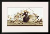 Chesapeake Bay Canvasback Prints by Pauline Eblé Campanelli