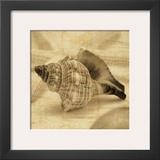 Conch Prints by John Seba