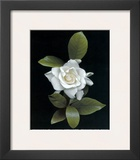 Gardenia Glory Art by Rosemarie Stanford