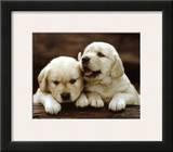 Golden Retriever Puppies Print
