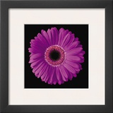 Gerbera Daisy Purple Prints by Jim Christensen