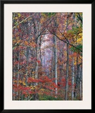 Glowing Autumn Forest, Virginia Posters by Christopher Burkett