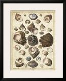 Turban Shells Posters by  Dezallier