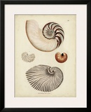 Antique Nautilus II Print by George Wolfgang Knorr