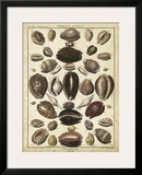 Cowrie Shells II Prints by  Dezallier