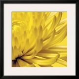 Yellow Mum II Framed Giclee Print by Jenny Kraft