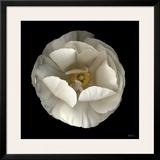 Folded Ranunculus Art by Neil Seth Levine