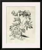 Crackled B&W Besler Peony III Prints by Besler Basilius