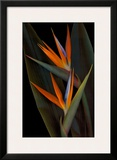Bird of Paradise Posters by Rosemarie Stanford