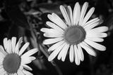 Daisy Flower Black White Plastic Sign Wall Sign
