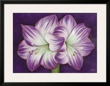 Amaryllis Amour Prints by Kaye Lake
