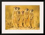 Meerkats Prints