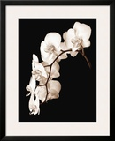Orchid Dance II Prints by John Rehner