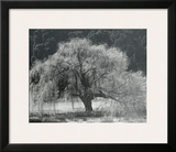 Willow Tree Posters by Edward Weston