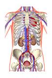Anatomy Giclee Print