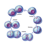 Mitosis Prints by  Jacopin
