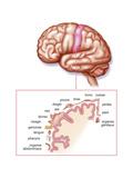 Somatosensory Cortex Posters by  Schmitt