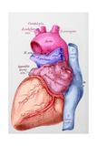 Le Coeur Est L'Organe Moteur De La Circulation Sanguine Son Muscle Giclee Print by Carlyn Iverson