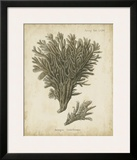 Esper Antique Coral III Posters by Johann Esper