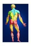 Muscle Dessin Affiches par  Sgo