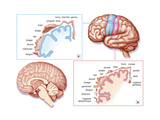 Cerebral Cortex Posters by  Jacopin