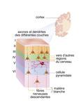 Somatosensory Cortex Giclee Print by  Kermoal