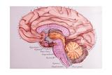 Le Cerveau Est Constitué De 2 Hemisphères Réunis Entre Eux Par Des Fibres N Giclee Print by  Sgo