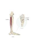 Le Muscle Long Fibulaire (Ou Long Péronier Latéral) Prints by Sophie Jacopin