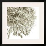 Allium I Prints by C. Sands