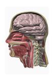 Anatomy Giclee Print by Medicalrf.com BSIP
