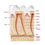 Dents, Dessin Impression giclée par  Jacopin