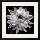 White Dahlia I Prints by Caroline Kelly