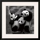 Pandas Print by Danita Delimont