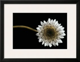 Solitary Blossom Framed Giclee Print by David Winston
