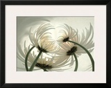 Spider Mums II Posters by Huntington Witherill