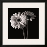 Gerber Daisies I Framed Giclee Print by Michael Harrison