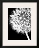 Dandelion Crop Prints by Jenny Kraft