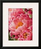 Coral Peonies II Prints by Rachel Perry