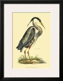 Great Blue Heron Prints by Prideaux John Selby
