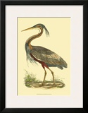 Purple Heron Posters by Prideaux John Selby