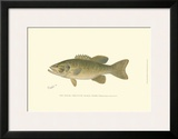 Small-Mouthed Black Bass Poster by  Denton