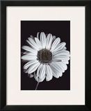 Gerbera Art by Bill Philip