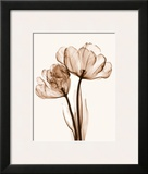 Parrot Tulips II Prints by Steven N. Meyers