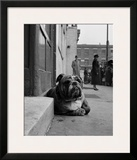 Lazy Bulldog at Camden Town Posters by John Gay