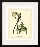 Fork-Tailed Flycatcher Print by John James Audubon