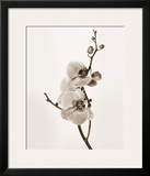 Orchids in Sepia Tones Posters by Jane Butler