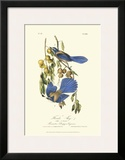 Florida Jays Print by John James Audubon